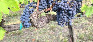 Azienda Agricola Felciano vineyards